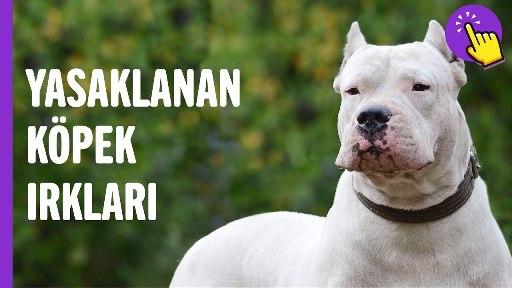 Yasaklanan Köpek Irkları Neler?